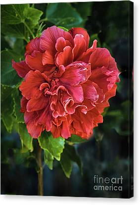 Haybales Canvas Print - Red Double Hibiscus by Robert Bales