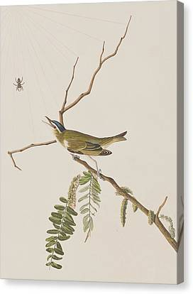 Red Eyed Vireo Canvas Print by John James Audubon
