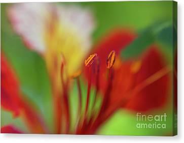 Royal Poinciana Canvas Print - red flower of the Delonix regia tree by Oranit Turgeman