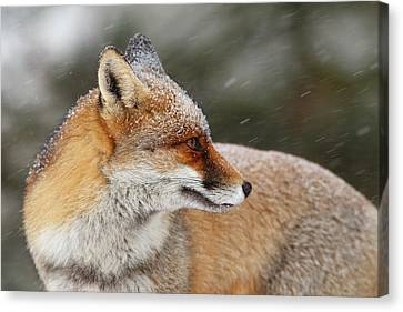 Red Fox In A Snow Storm Canvas Print