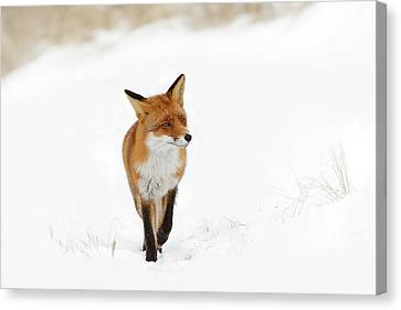 Red Fox In A White Winter Wonderland Canvas Print by Roeselien Raimond