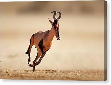 Energetic Canvas Print - Red Hartebeest Running by Johan Swanepoel