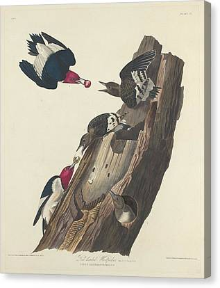 Red-headed Woodpecker Canvas Print by Anton Oreshkin