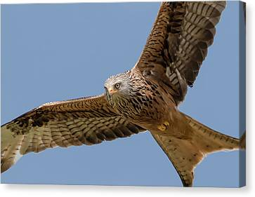Feeding Canvas Print - Red Kite by Ian Hufton