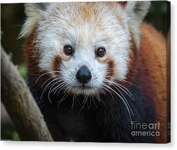 Red Panda Portrait  Canvas Print