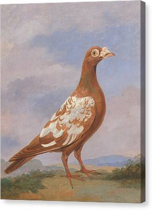 Red Pied Carrier Canvas Print