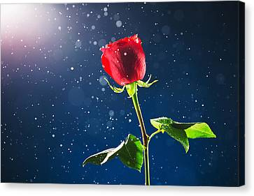 Bokhe Canvas Print - Red Rose On Snow Background by Valentin Valkov