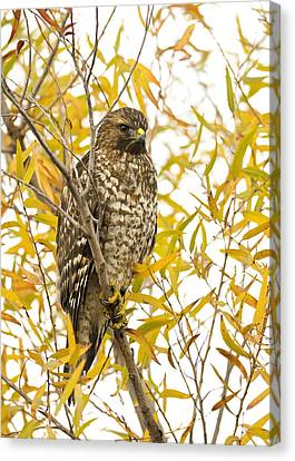 Red-shouldered Hawk Canvas Print by Doug Herr