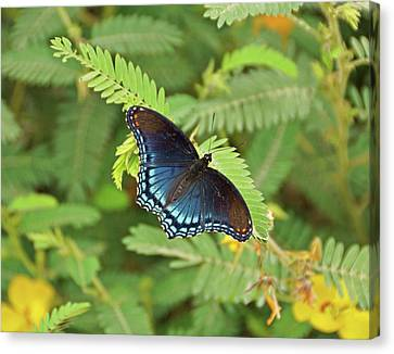 Canvas Print featuring the photograph Red Spotted Purple Butterfly by Sandy Keeton