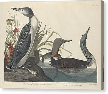 Red-throated Diver Canvas Print by Rob Dreyer