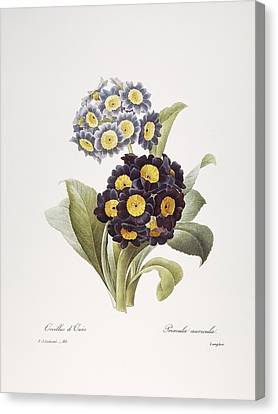 Redoute: Auricula, 1833 Canvas Print by Granger