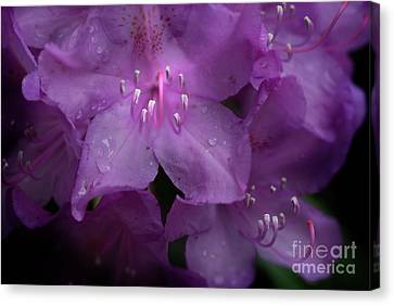 Rhododendron Flower Close Up  Canvas Print by Dan Friend