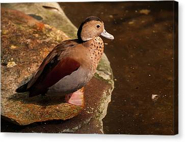 Ringed Teal On A Rock Canvas Print by Chris Flees