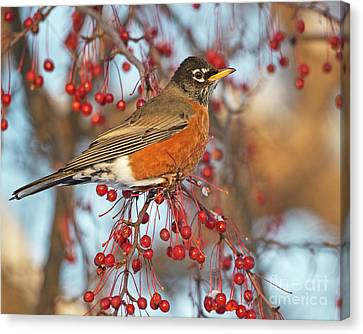 Canvas Print featuring the photograph Robin.. by Nina Stavlund