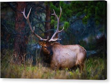 Canvas Print featuring the photograph Rocky Mountain Elk by Darren White