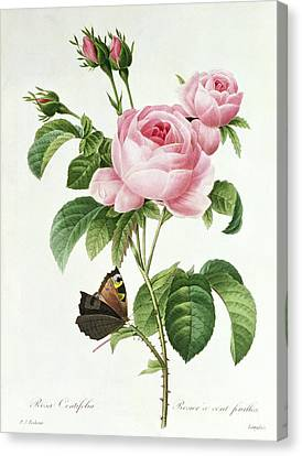 Pink Blossoms Canvas Print - Rosa Centifolia by Pierre Joseph Redoute