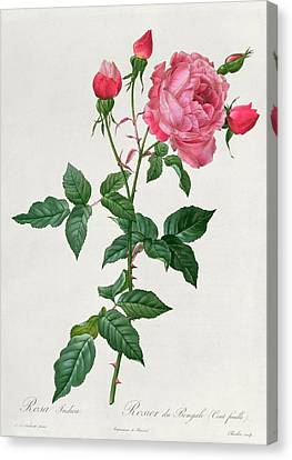 Rosa Indica Canvas Print by Pierre Joseph Redoute