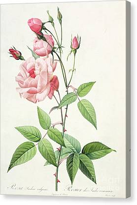 In Bloom Canvas Print - Rosa Indica Vulgaris by Pierre Joseph Redoute