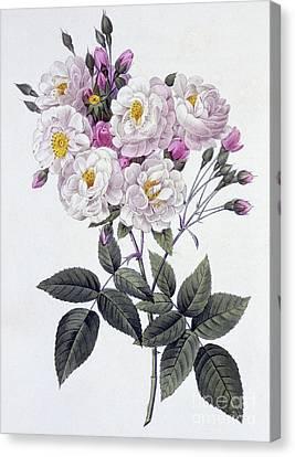 Rosa Noisettiana Canvas Print