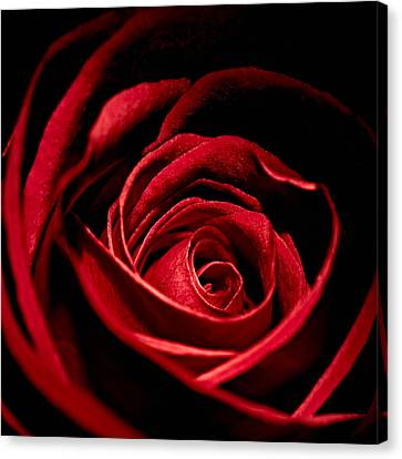 Rose I Canvas Print by Andreas Freund