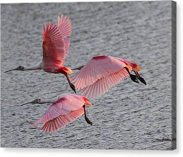 Roseate Spoonbill Canvas Print by Jeanne Andrews