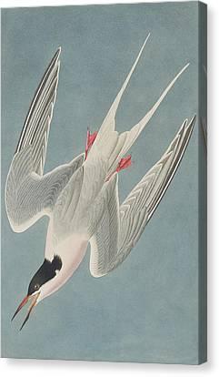 Swoop Canvas Print - Roseate Tern by John James Audubon