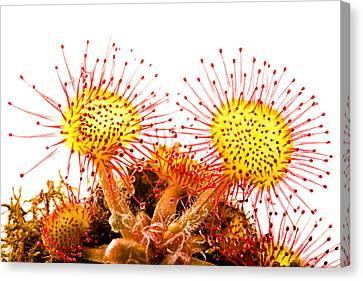 Round-leaved Sundew Drosera Rotundifolia Canvas Print by Gabor Pozsgai