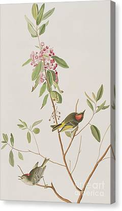 Ruby Crowned Wren Canvas Print by John James Audubon