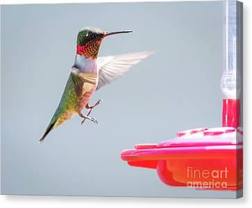 Ruby-throated Hummingbird  Canvas Print by Ricky L Jones