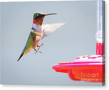 Canvas Print featuring the photograph Ruby-throated Hummingbird  by Ricky L Jones