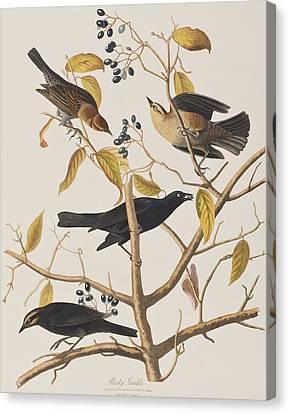 Rusty Grackle Canvas Print by John James Audubon