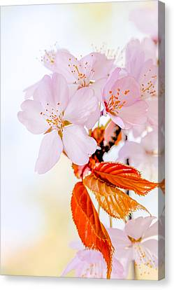 Canvas Print featuring the photograph Sakura - Japanese Cherry Blossom by Alexander Senin
