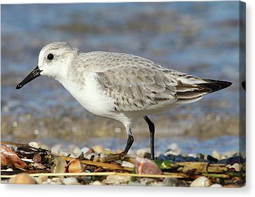 Sanderling Westhampton New York Canvas Print by Bob Savage