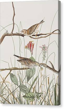 Savannah Finch Canvas Print by John James Audubon