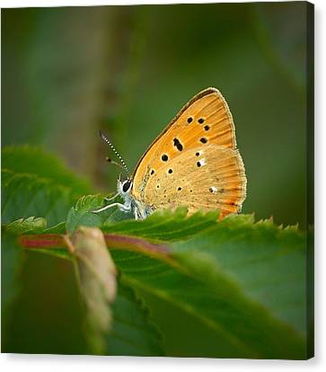 Canvas Print featuring the photograph Scarce Copper by Jouko Lehto