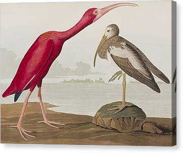 Ibis Canvas Print - Scarlet Ibis by John James Audubon