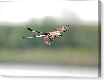 Scissor-tailed Flycatcher In Flight Canvas Print