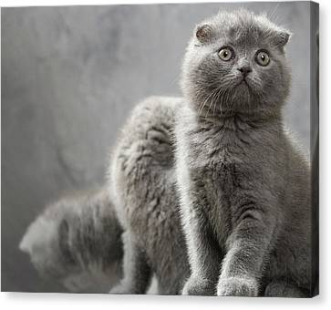 Scottish Fold Cats Canvas Print