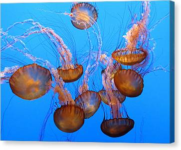 Sea Nettles Ballet 1 Canvas Print by Diane Wood