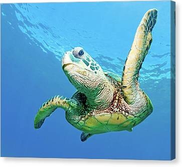 Sea Turtle Canvas Print by Monica and Michael Sweet