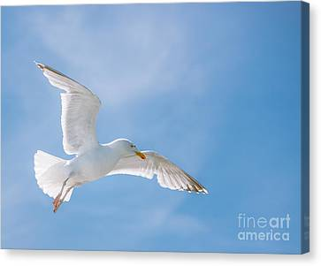 Seagull Flying High Canvas Print