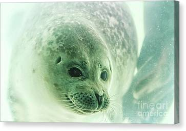 Canvas Print - Seal Underwater In Close Up by Patricia Hofmeester