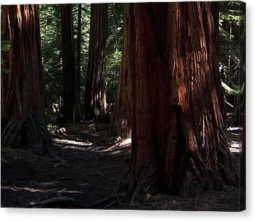 Sequoias On Half Dome Trail Canvas Print by Bransen Devey
