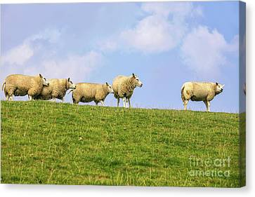 Canvas Print featuring the photograph Sheep On Dyke by Patricia Hofmeester