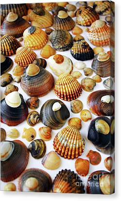 Shell Background Canvas Print by Carlos Caetano