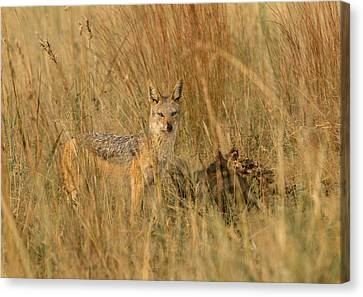 Silver Backed Jackal Canvas Print by Patrick Kain