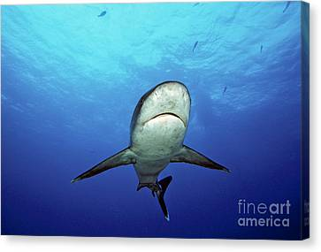 Silvertip Shark Canvas Print by Dave Fleetham - Printscapes