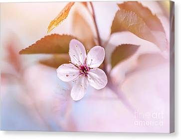 Simply Pink Canvas Print by Jacky Parker