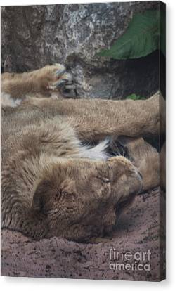 Sleeping Lion Canvas Print by Doc Braham