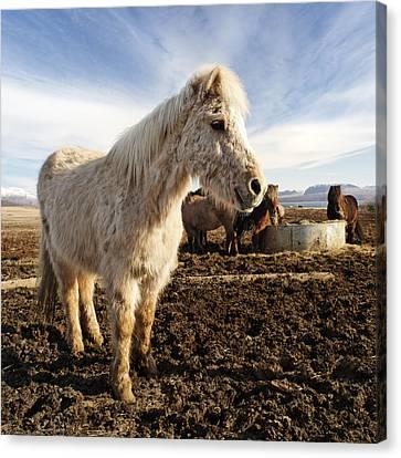 Chestnut Horse Canvas Print - Smiling Icelandic Horse by Francesco Emanuele Carucci